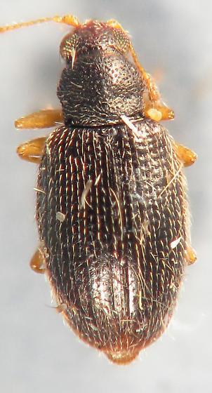 Latridiidae? - Melanophthalma