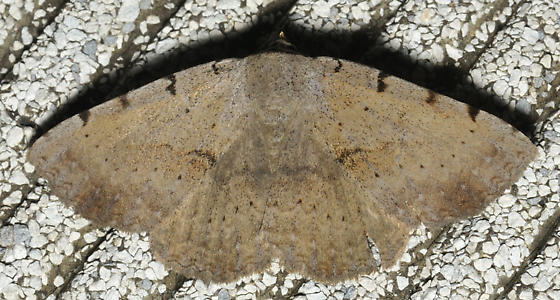 Brown moth with costa notches - Spiloloma lunilinea