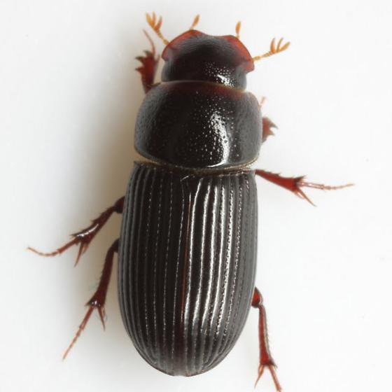 Ataenius cognatus (LeConte) - Ataenius cognatus
