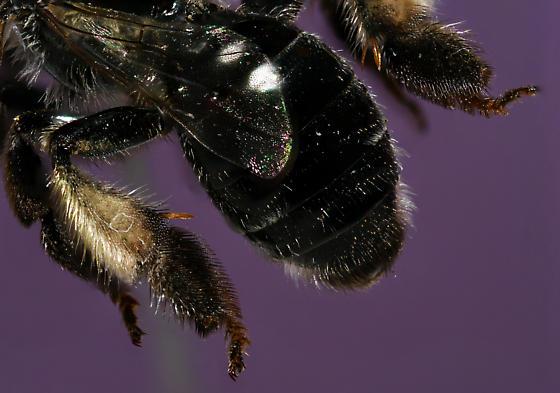 Macropis sp.  - Macropis - female