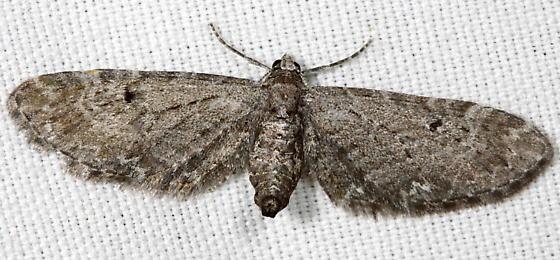 Small grey moth - Eupithecia