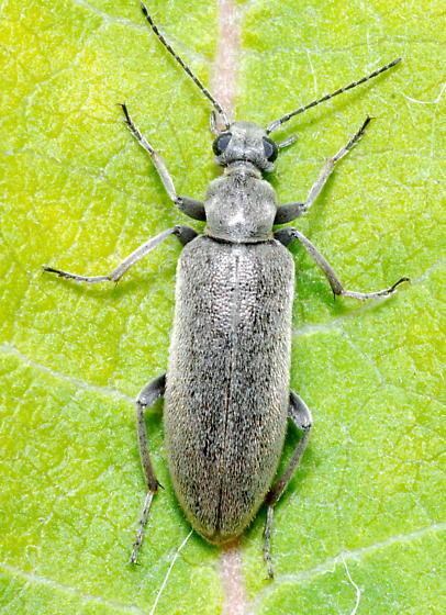 Large Gray Beetle - Stereopalpus vestitus