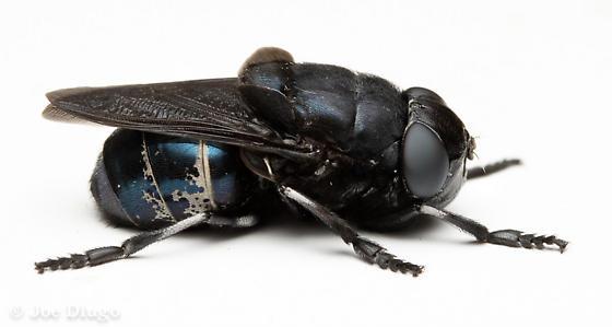 Big Blue Fly - Cuterebra