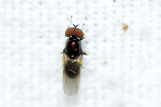 Unknown Fly - Microchrysa polita - male