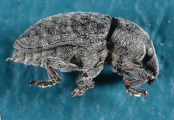 Larinus minutus or L. obtusus - Larinus minutus