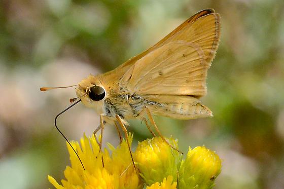 Unknown Skipper  - Hylephila phyleus