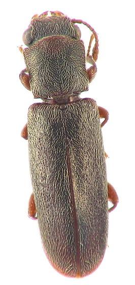 Lyctinae - Powder-post Beetle - Trogoxylon parallelipipedum