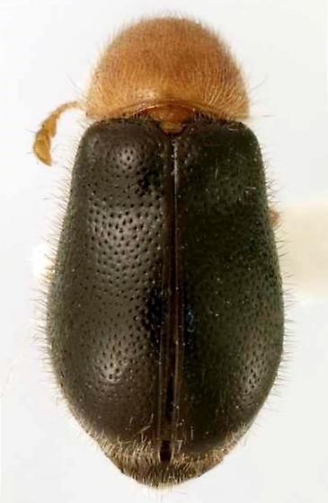 Lebasiella pallipes (Klug) - Lebasiella pallipes