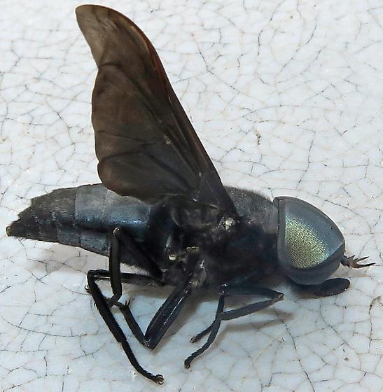 Black Horse Fly - Tabanus atratus - male