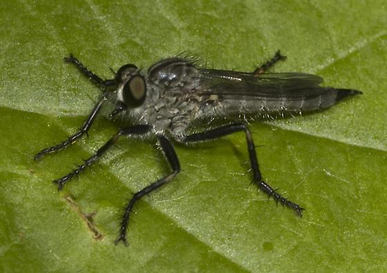 Robber Fly - Machimus virginicus - female
