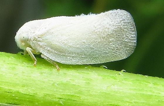 Flatormenis on Helianthus annuus - Flatormenis saucia
