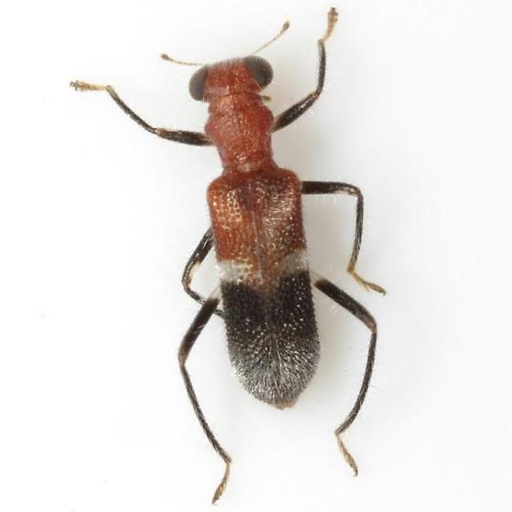 Phyllobaenus corticinus (Gorham)  - Phyllobaenus corticinus
