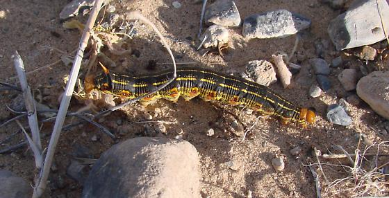 Desert Caterpillar - fast, fat, and frequent - Hyles lineata