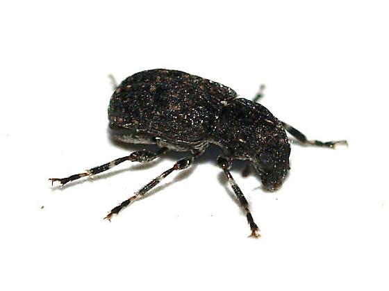 Anthribid - Piesocorynus tesselatus