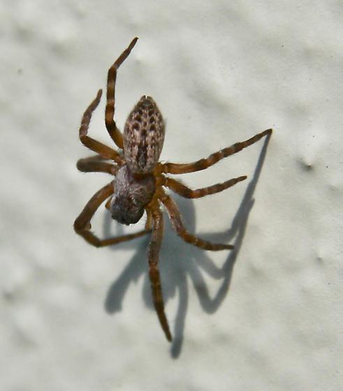 Unknown spider - Badumna longinqua
