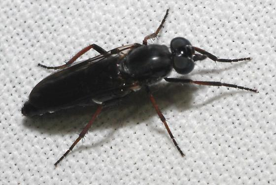 Black Fly - Ozodiceromyia