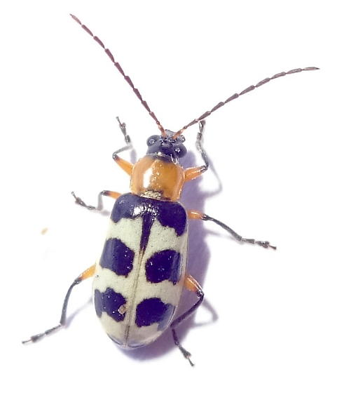 Spotted Cucumber Beetle ? - Paranapiacaba tricincta