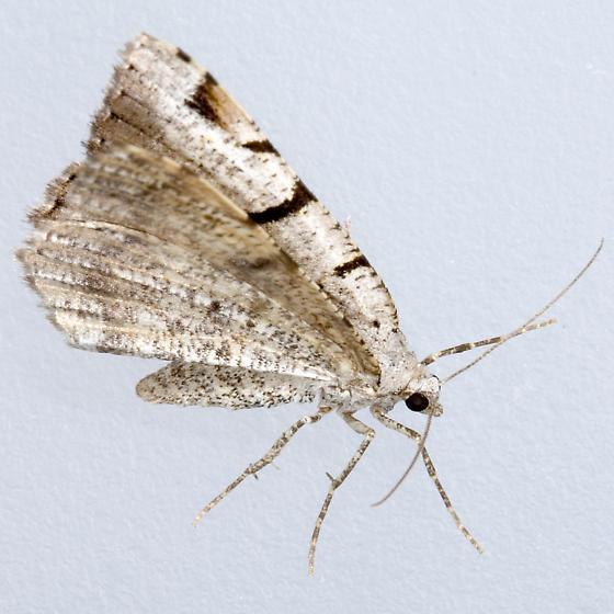 Split-Lined Speranza - Hodges#6304 - Macaria bitactata - female