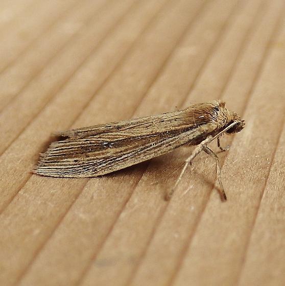 Noctuidae: Photedes defecta - Photedes defecta