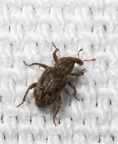 Louisiana Rice Weevil - Lissorhoptrus
