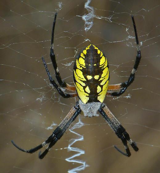 Black-and-yellow Argiope - Argiope aurantia - female