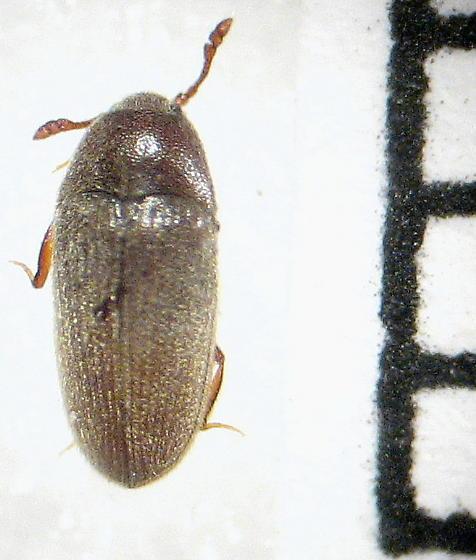 Throscidae: Trizagus sp. - Trixagus