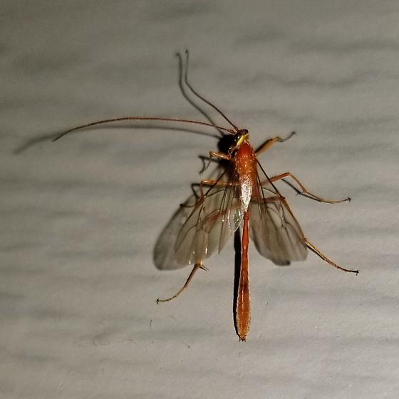 Ichneumon? - Enicospilus