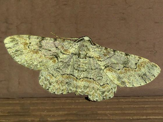 Iridopsis sp? - Iridopsis defectaria