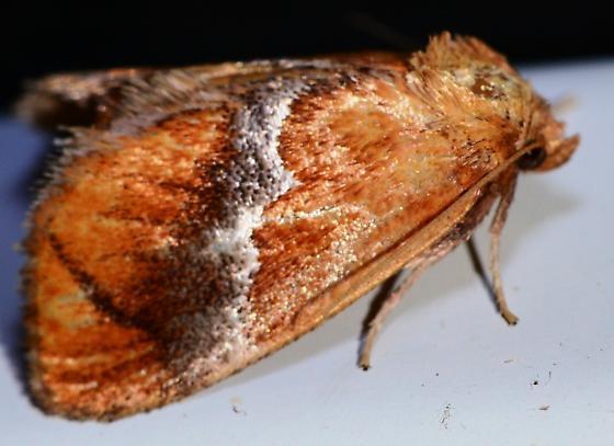 Orange White Stripe Moth - Lithacodes fasciola