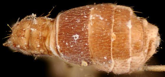 Wingless Scuttle Fly, dorsal - Puliciphora borinquenensis - female