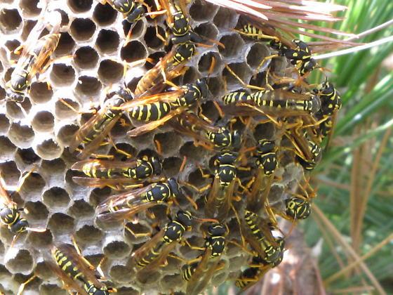 unknown social wasps - Polistes dominula