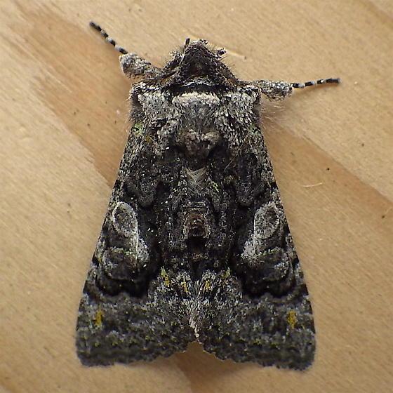 Noctuidae: Behrensia conchiformis - Behrensia conchiformis