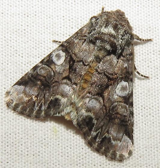 Moth 5 - Hadena capsularis - male