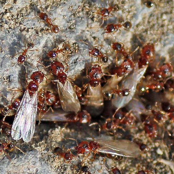 how to kill tiny red ants