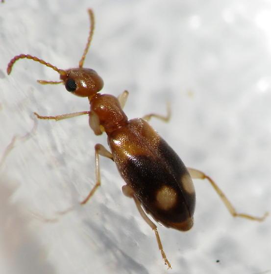 Colorful Ground Beetle(?) - Stricticollis tobias