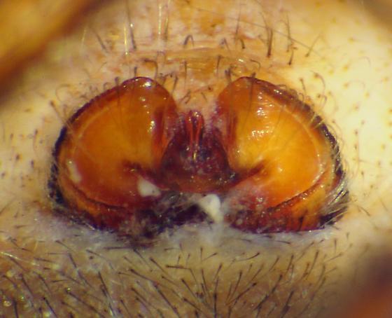 Epigynum - Larinioides patagiatus - female