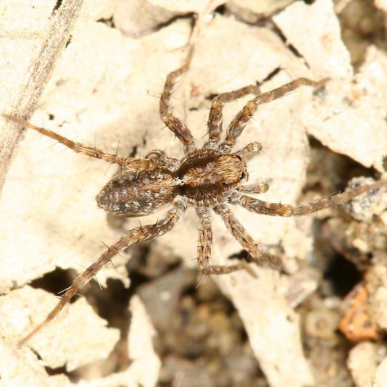 Wolf Spider - Pardosa milvina