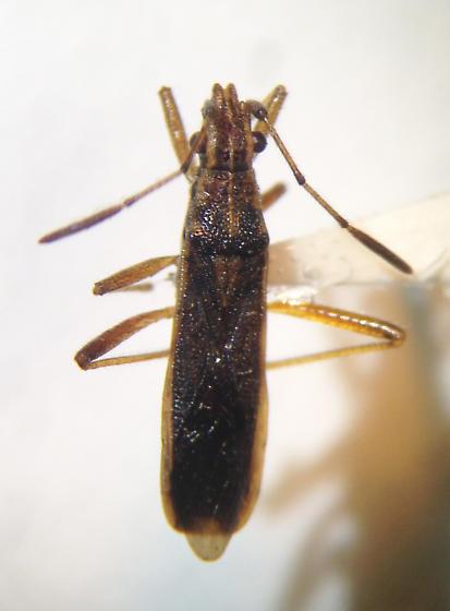 Bug with enlarged antennal segment - Darmistus subvittatus
