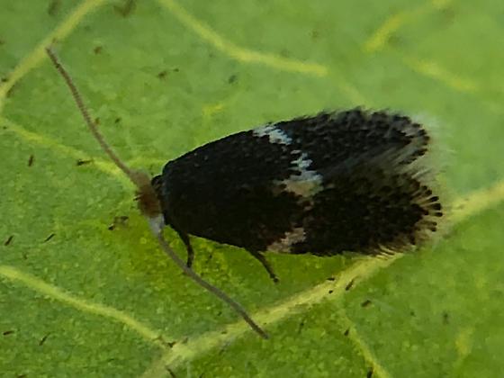 Micro Lep. on Elderberry