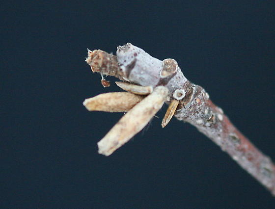 Pupal cases? - Coleophora serratella