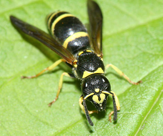 wasp - Ancistrocerus adiabatus - female