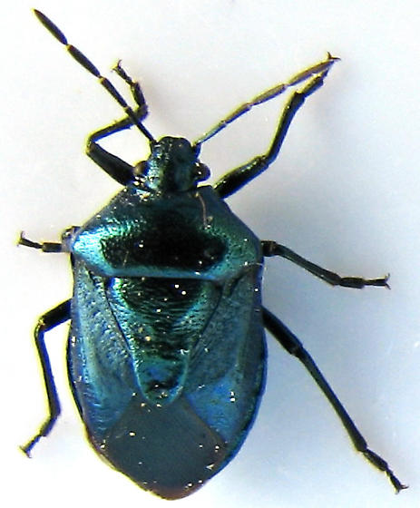 Iridescent Black Pentatomid in California - Zicrona americana
