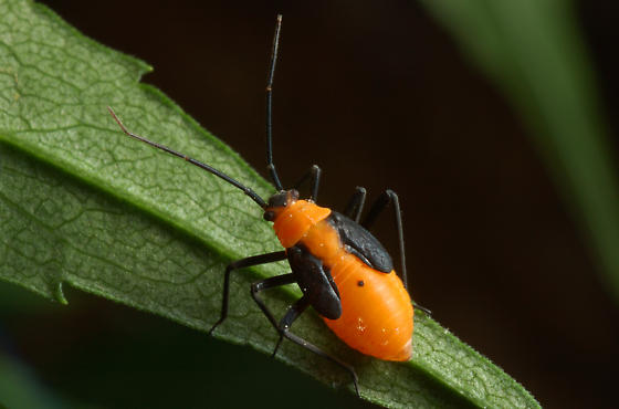 Orange bug nymph?  True Bug? - Prepops