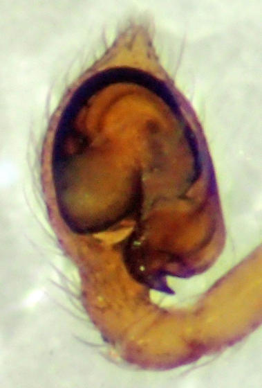 Tiny male dictyinid - Emblyna saylori - male