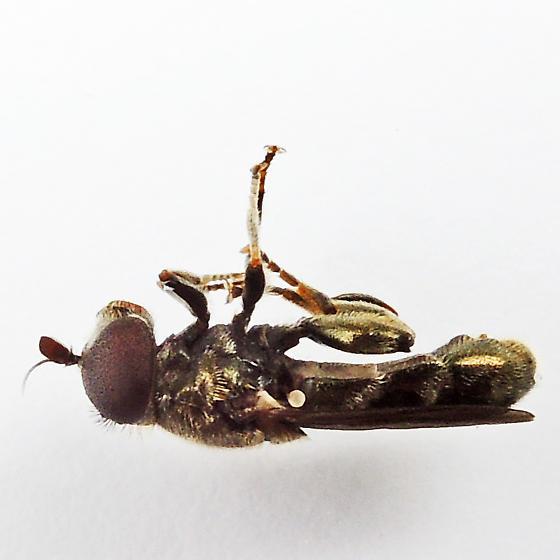 Lesser Bulb Fly - Eumerus funeralis - male