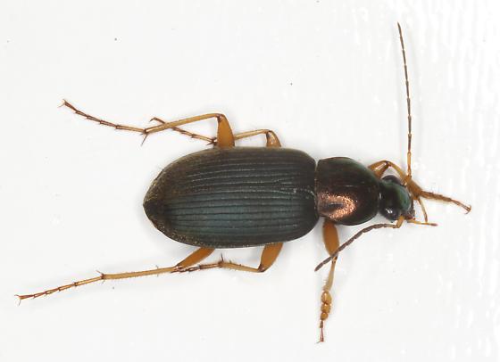 Chlaenius - Chlaenius tricolor