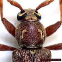 Hairy Cerambycid - Hesperophanes pubescens