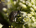 Fly on Buckwheat - Toxophora virgata