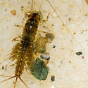 Unknown Nymph - Leptophlebia
