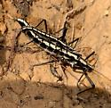 Two-striped Walkingstick - Anisomorpha buprestoides - male - female
